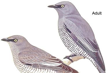 Cuckoo-shrikes