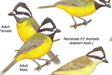 Shrike-tits