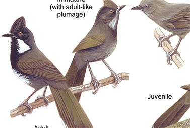 Quail-Thrushes and Whipbirds