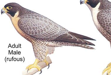 Diurnal Raptors
