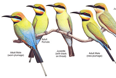 Dollarbird and Bee-eater