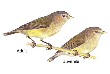 Thornbills